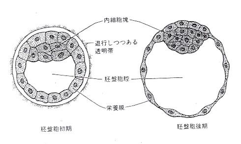 盤 に 胚 ならない 胞
