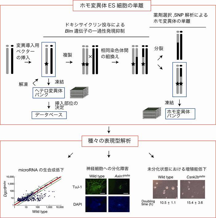 ホモ変異体ES細胞の単離