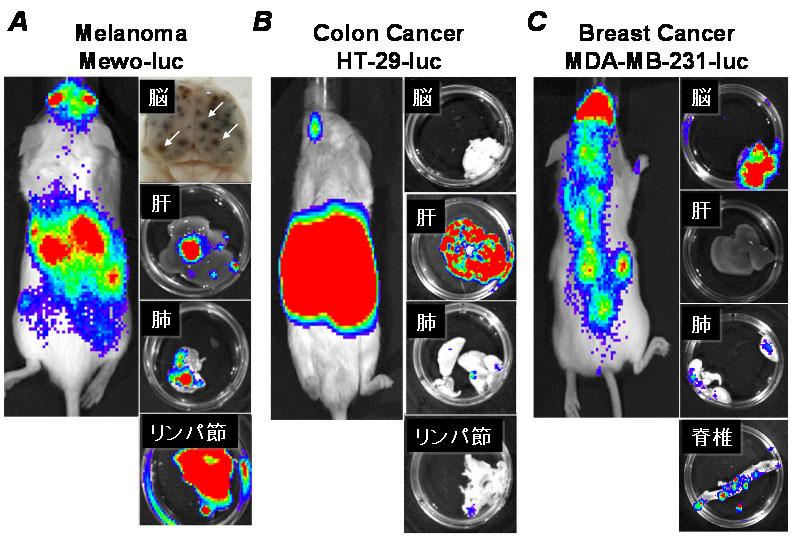 In Vivo 発光イメージングによるがん転移の解析